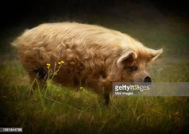 Kunekune pig with golden locks strolls through pasture