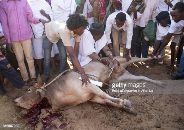 Kura Jarso cutting the genitals of a bull during the Gada system ceremony in Borana tribe Oromia Yabelo Ethiopia on March 7 2017 in Yabelo Ethiopia
