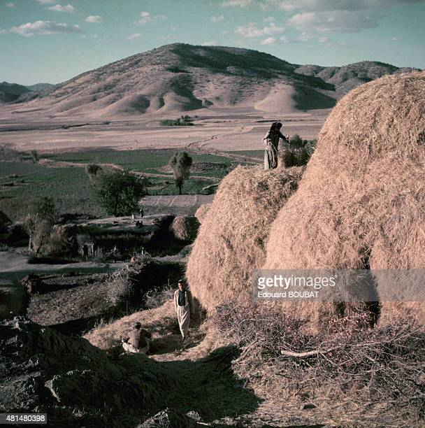 Kurdish farmers storing straw in March 1956 in Iraq