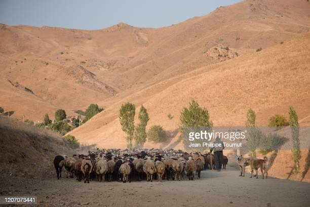 kurdish shepherd walking with his herd of sheep at the end of the day, kurdistan province, western iran - endopack stock pictures, royalty-free photos & images