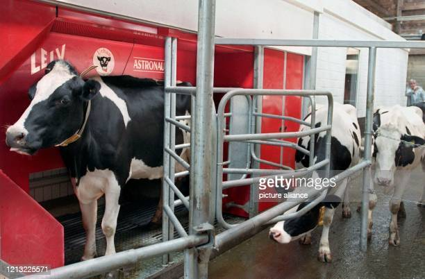 Kurz nachdem diese Kuh der Versuchsstation für Futterbau und Rinderhaltung in Infeld am 3. Juni 1998 in der roten Melkbox des Melkroboters...