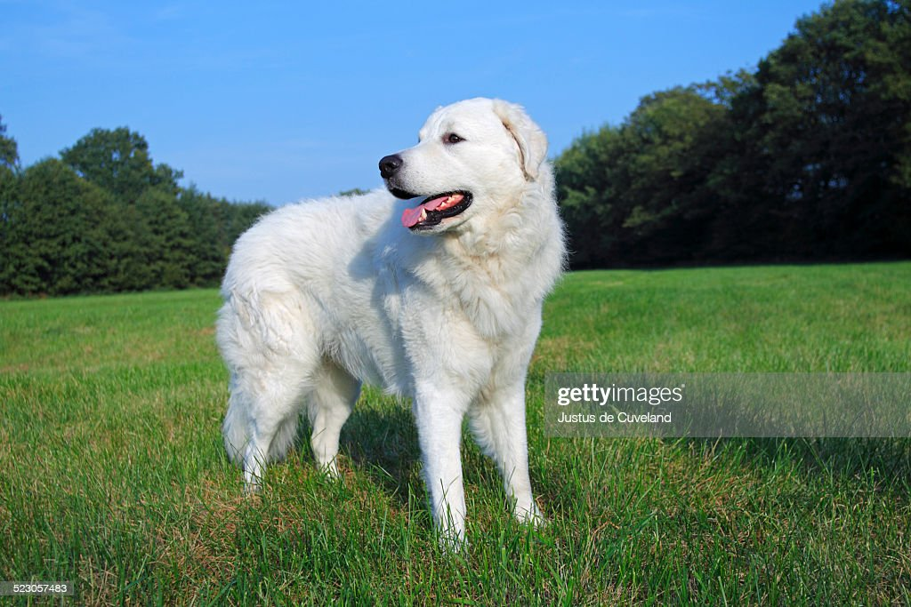 Kuvasz -Canis lupus familiaris-, male, livestock guardian dog : Stock Photo