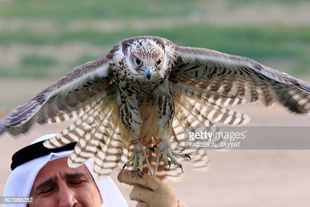 A Kuwaiti man holds his falcon during a training session in alSalmi district 120 kms west of Kuwait City on December 19 2015 in preparation for a...