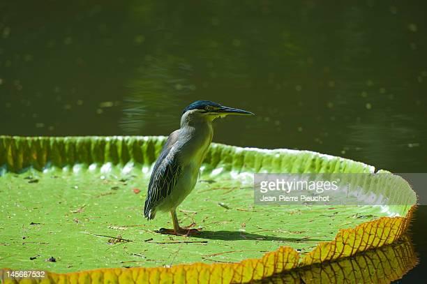 Kwak bird on waterlily, Pamplemousses gardens