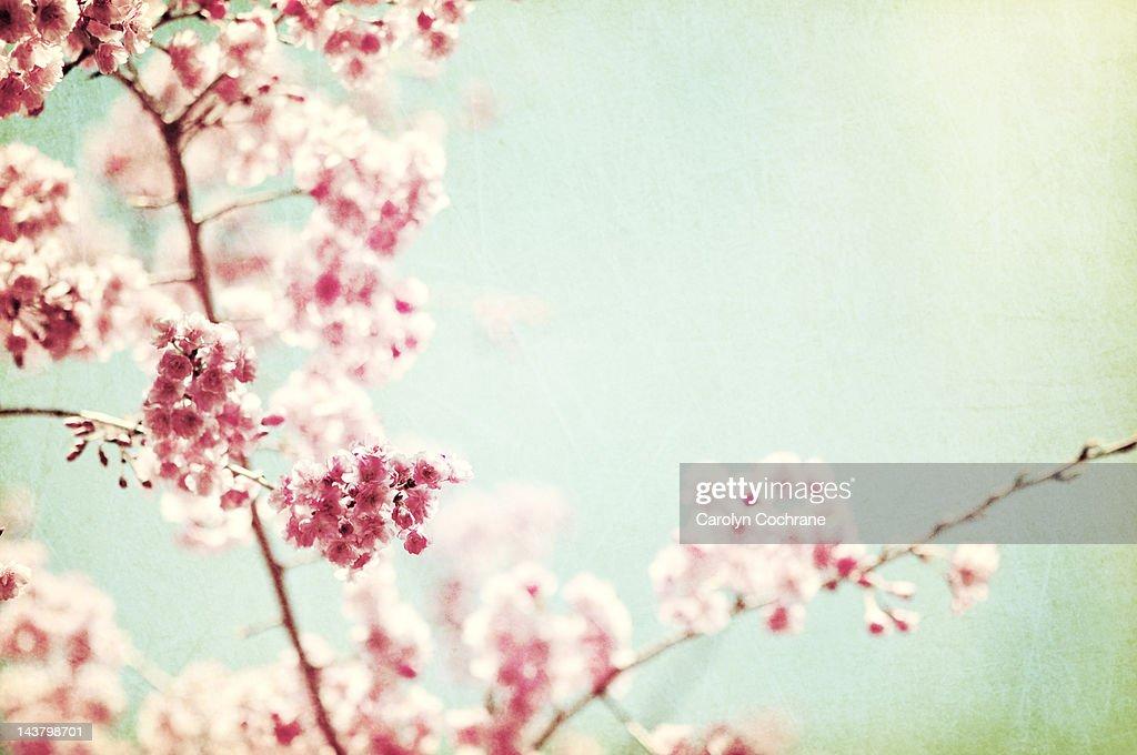 Kwanzan cherry tree flowers on branch : Stock Photo