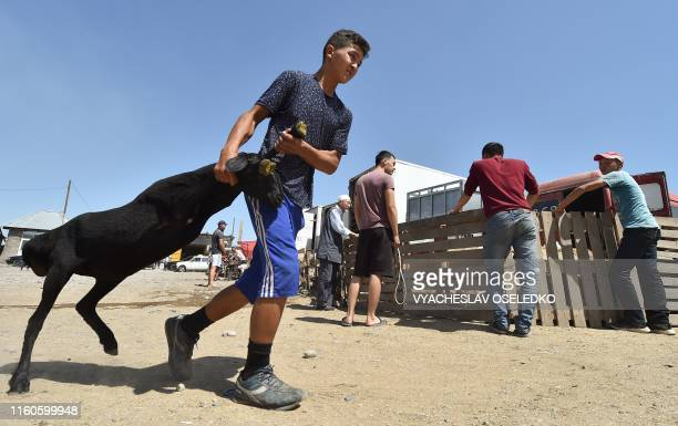A Kyrgyz boy drag a sheep he bought at the outdoors livestock market in Bishkek on August 10 2019 on the eve of the Muslim Eid alAdha festival the...