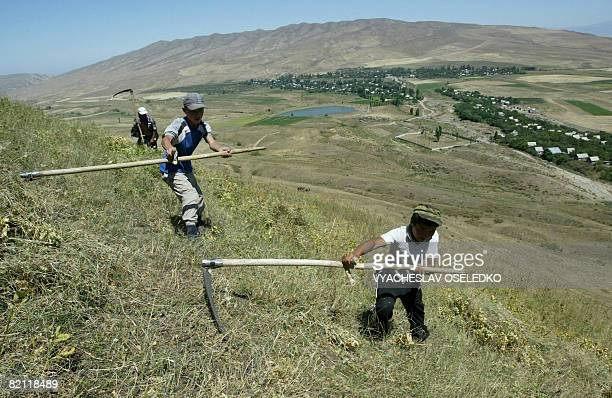 Kyrgyz boys cut hay with a scythe on July 30 2008 some 30 km from Bishkek in Gornaya Mayevka The hay is being gatherd for storage for the winter AFP...