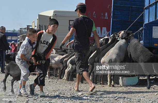 Kyrgyz boys drag a sheep they bought at the outdoors livestock market in Bishkek on September 23 2015 on the eve of the Muslim Eid alAdha festival...