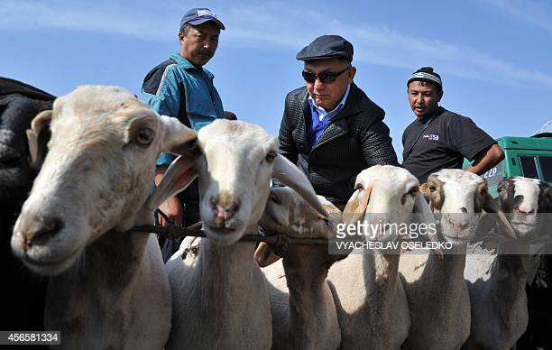 A Kyrgyz customer checks sheep at the outdoors livestock market in Bishkek on October 3 2014 on the eve of the Muslim Eid alAdha festival the Muslim...