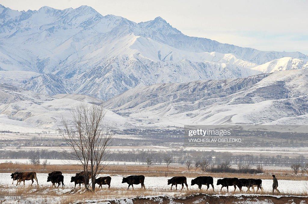 A Kyrgyz man herds cattle near snow-cove : News Photo