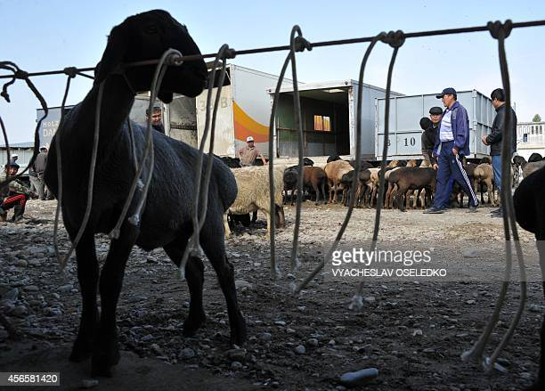 Kyrgyz men walk past sheep at the outdoors livestock market in Bishkek on October 3 2014 on the eve of the Muslim Eid alAdha festival the Muslim...