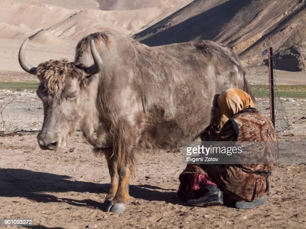 Kyrgyz woman milking yak on jailoo (highland pasture) near Rangkul in eastern Pamirs, Tajikistan