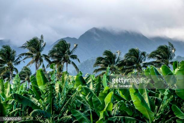 la bananeraie  au pied du volcan - french overseas territory stock pictures, royalty-free photos & images