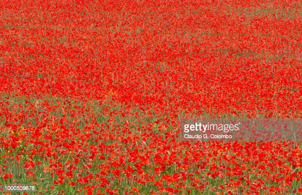 la breole (haute provence) - poppy field stock photos and pictures