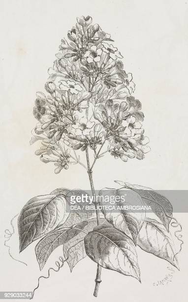 La chica endemic species Colombia drawing by Auguste Faguet from a sketch of the author Voyage a la Nouvelle Grenade by Charles Saffray from Il Giro...