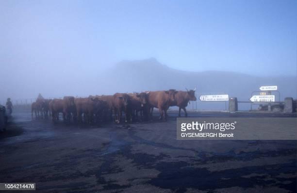 A la découverte du Cantal région AuvergneRhôneAlpes aoûtseptembre 1991 Troupeau de vaches Salers marchant sur une route embrumée