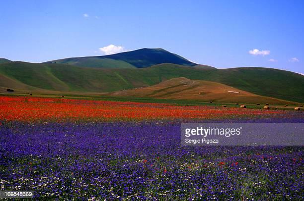 la fioritura a castelluccio di norcia - castelluccio di norcia foto e immagini stock