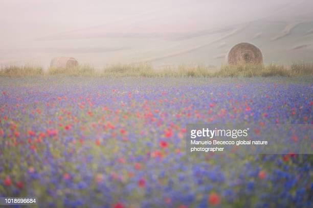 la fioritura di castelluccio di norcia tra la nebbia e la luce del alba - castelluccio stock photos and pictures