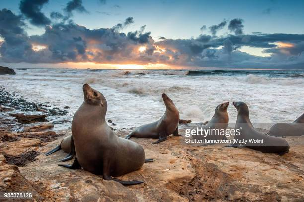la jolla beach sea lions - mammal stock pictures, royalty-free photos & images