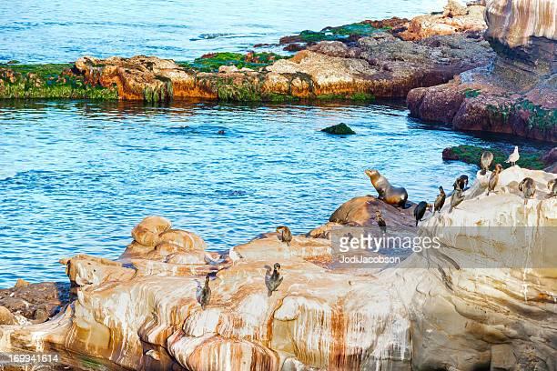 La Jolla Leões de Mar-Califórnia