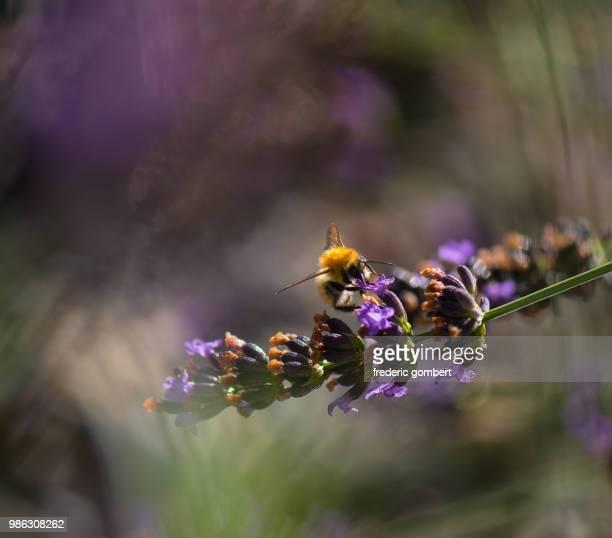 La lavande et l'abeille