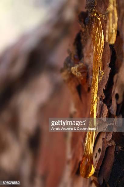 La Palma Island, Canary islands- Close-up of rosin on Canary pine