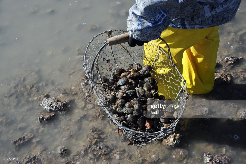 fishing from the shore during the spring tide on . Close-up shot of a metal basket full of shellfish.