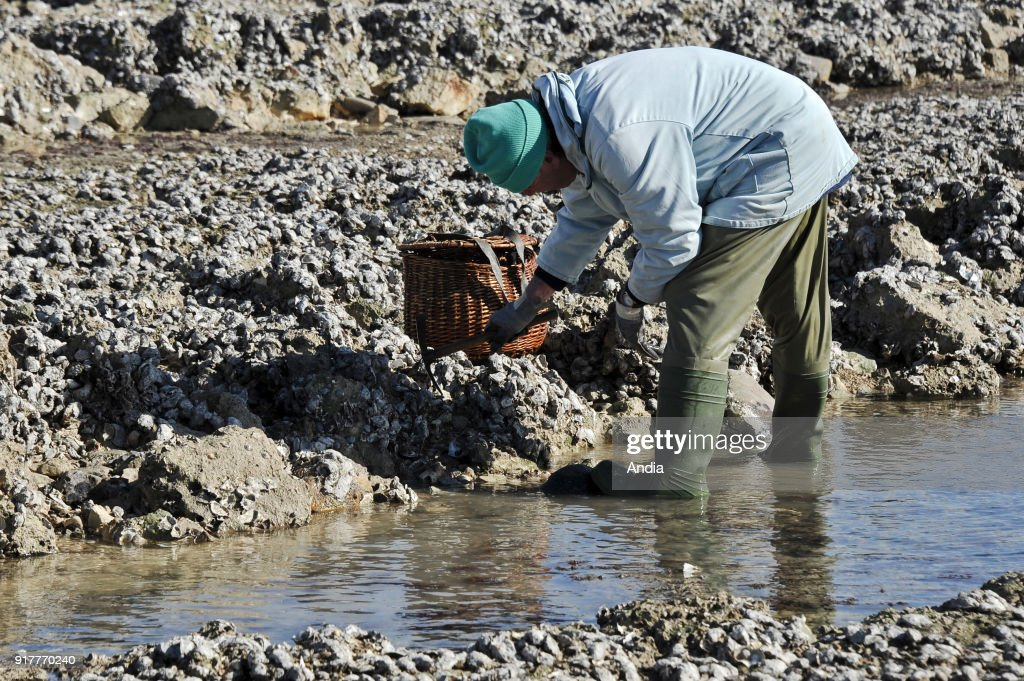 fishing from the shore during the spring tide on . Man taking oysters on rocks.
