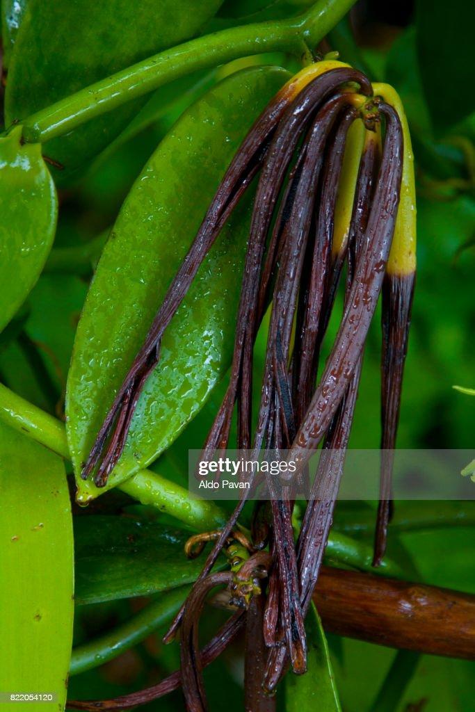 La Réunion, vanilla : Stock Photo