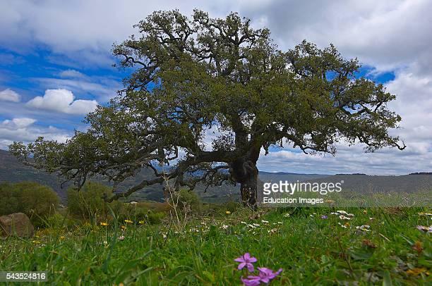 La Sauceda Cork oak Los Alcornocales Natural Park Malaga province Andalusia Spain