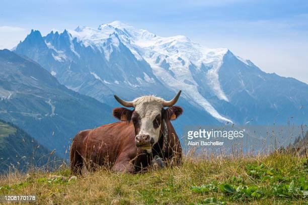 la vache et le mont-blanc - alain bachellier photos et images de collection