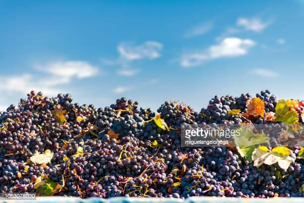 la vendimia - wine harvest stock pictures, royalty-free photos & images