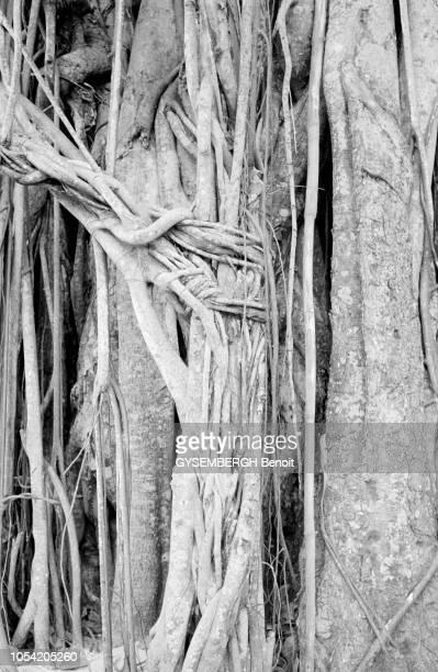 La vie dans l'archipel des Seychelles dans l'océan Indien 1988 Les branches d'un figuier des banians