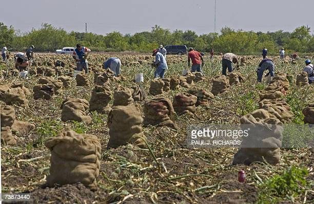 Farm workers pick onions and load them into reused potato sacks 11 April 2007 in La Villa Texas AFP Photo/Paul J Richards
