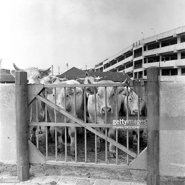 La Villette Slaughterhouse'S Stockyard In Paris France On January 01 1967 In a stockyard of La Villette slaughterhousecattles wait to be slaughter