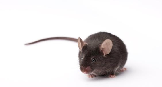 Lab Mouse 173632114