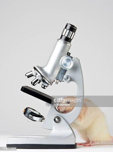 Lab rat versteckt sich hinter dem Mikroskop