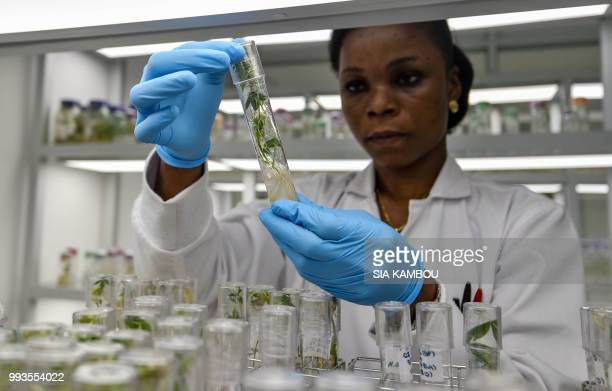 A lab technician checks in vitro cultures of cassava in a research centre on cassava on June 27 2018 in Bingerville as part of the West African Virus...