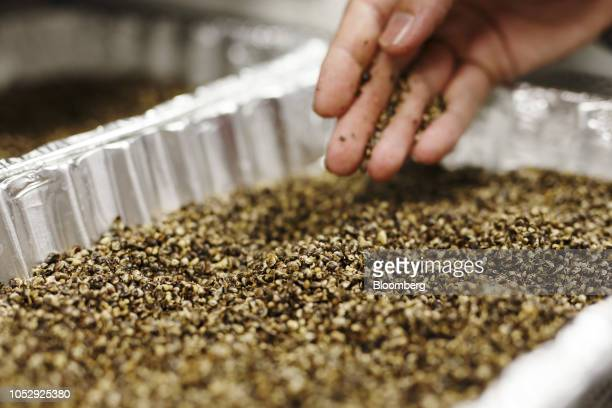 A lab technician inspects a tray of hemp seeds at the Province Brands of Canada laboratory in Belleville Ontario Canada on Friday Aug 31 2018 Instead...