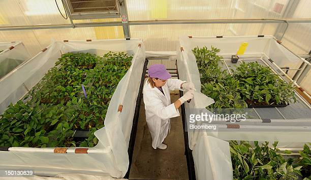 Lab technician Maria Henandez screens peppers for diseases at the Monsanto Co pathology greenhouse in Woodland California US on Friday Aug 10 2012...