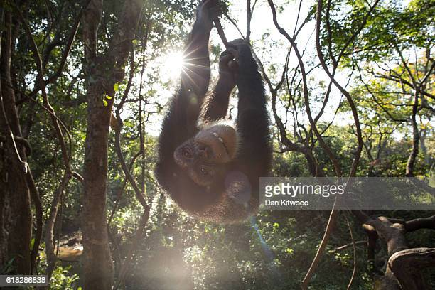Labe swings in trees one one of her daily bushwalks at the Chimpanzee Conservation Centre on November 28 2015 in Somoria Guinea The CCC is a...