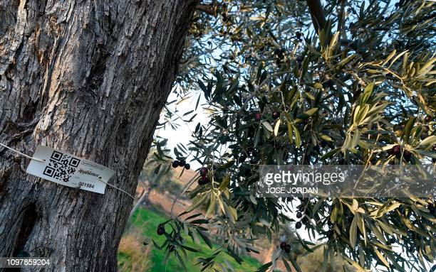 A label with a QR code is tied to a tree in an olive grove in Oliete northeastern Spain on December 17 2018 Residents began moving away from rural...