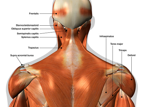 Labeled Anatomy Chart of Neck and Back Muscles on White Background 1147115909