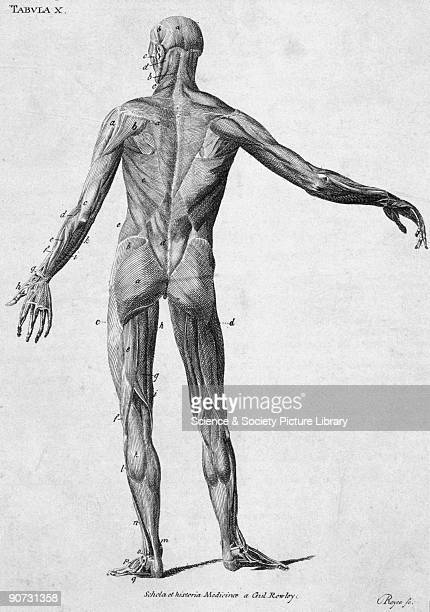 Labelled chromolithograph by Royce showing a rear view of the muscles of the human body This diagram is from a collection of bookplates and...