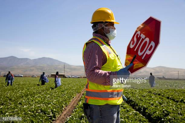 A labor safety supervisor works on April 27 2020 in Greenfield California Fresh Harvest is the one of the largest employers of people using the H2A...