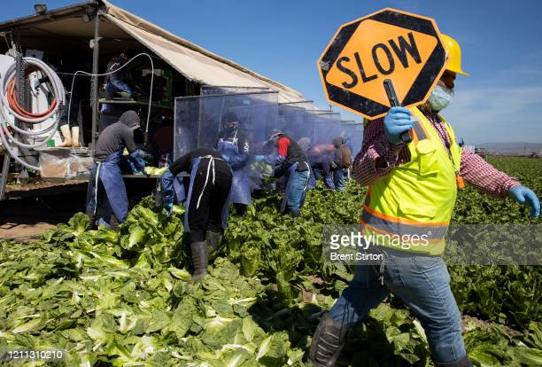 A labor safety supervisor works with farm laborers from Fresh Harvest who are harvesting romaine lettuce on a machine with heavy plastic dividers...