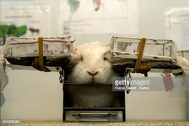 Laboratory rabbit whose ears are used to 'feed' parasitefree tsetse flies Each rabbit is called up for 'duty' one halfday a week