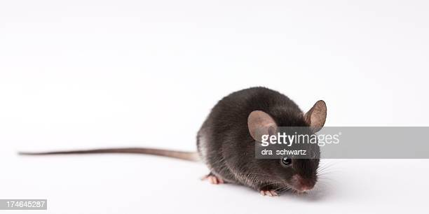 Laboratory research mouse on light background