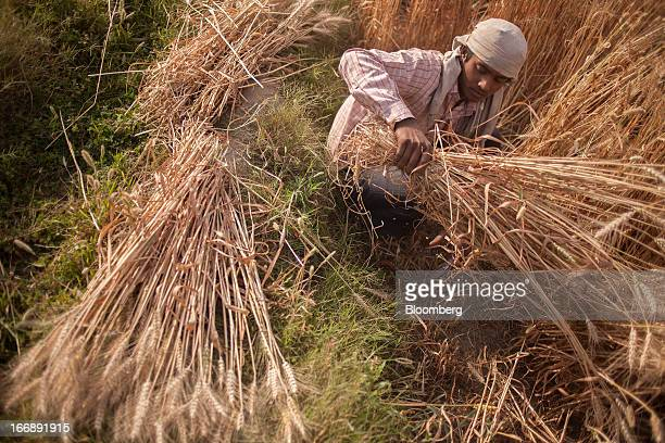 A laborer harvests wheat in the district of Jalandhar in Punjab India on Monday April 15 2013 Wheat harvest in India the secondbiggest grower may...