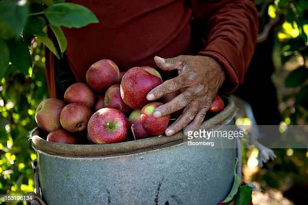 Laborer Matias Jaramillo carries a load of Rome apples as he picks in the last remaining rows at a Royal J Klein Son's orchard that will complete...